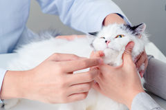 Veterinary survey. Beautiful cat on the veterinary survey royalty free stock photos