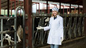 Veterinary technician with dairy cattle Royalty Free Stock Photo