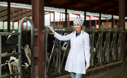 Veterinary technician with dairy cattle Stock Images