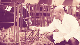 Veterinary technician taking care of calves. Male veterinary workman taking care of calves in farm Stock Image