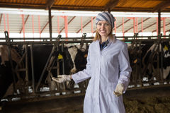 Veterinary technician working with cows in livestock farm Royalty Free Stock Photo