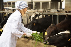 Veterinary technician working with cows in livestock farm Stock Image