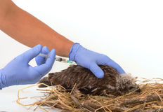 Veterinary trying to vaccine young Sea-eagle Stock Image