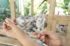 Veterinary is vaccinating cat for immunity stock photos