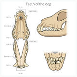 Veterinary vector illustration teeth of the dog Stock Image