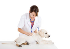 Veterinay che cattura cura di un cane Immagini Stock