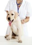 Veterinay che cattura cura di un cane immagine stock libera da diritti