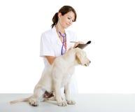 Veterinay, das um einem Hund sich kümmert Lizenzfreie Stockbilder