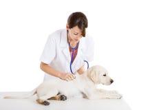 Veterinay que toma cuidado de un perro Imagenes de archivo