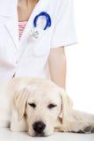 Veterinay que toma cuidado de un perro Imagen de archivo libre de regalías