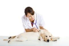 Veterinay que toma de um cão Foto de Stock