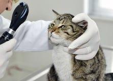 Veterinär som undersöker en katt Arkivbild