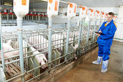 Veterinären manipulerar undersökande pigs på en piglantgård Arkivbilder