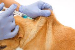 Veterinário do close up que dá a injeção o cão Foto de Stock Royalty Free