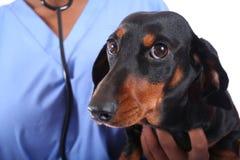 Veterinário e cão Fotos de Stock