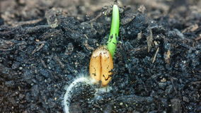Veteväxt som växer från jord