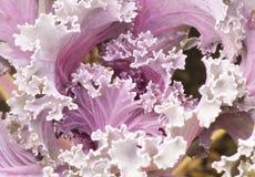 Vetgetable. Longlived Cabbag, Brassica hybrid cv. Pule Royalty Free Stock Photo