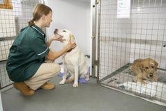 Vetinary Krankenschwester, die kranke Tiere in den Federn überprüft lizenzfreie stockfotografie