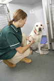 Vetinary Nurse Checking Sick Animals In Pens Royalty Free Stock Photography