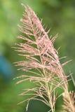 Vetiver λουλούδι Στοκ Εικόνες