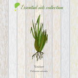 Vetiver, essential oil label, aromatic plant Royalty Free Stock Image