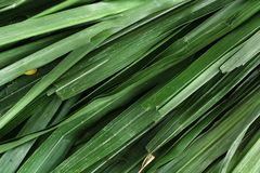 Vetiver Stock Photography