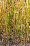Vetiver grass background Stock Photos