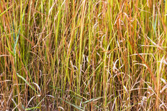 Vetiver grass background Royalty Free Stock Photography