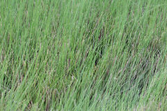 Free Vetiver Grass In Thailand Royalty Free Stock Photos - 93467428