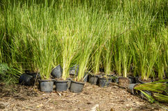 Vetiver Grass (Vetiveria zizanioides). Plants with deep root systems spread into the soil to prevent soil and water Royalty Free Stock Photography