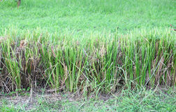 The Vetiver Grass or Vetiveria zizanioides use for Royalty Free Stock Images
