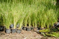 Vetiver trawa. (Vetiveria zizanioides). obraz stock