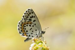 Vetkruidblauwtje, Chequered Blue, Scolitantides orion royalty free stock images