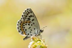 Vetkruidblauwtje, Geruit Blauw, Scolitantides-orion royalty-vrije stock afbeeldingen