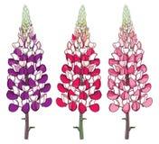 Vetor ajustado com grupo ornamentado do tremoceiro ou do Lupine ou do Bluebonnet da flor vermelha e cor-de-rosa do esboço com o b ilustração royalty free