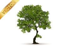 Vetor bonito da árvore em um fundo branco Imagens de Stock