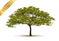Vetor bonito da árvore em um fundo branco Fotos de Stock Royalty Free