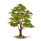 Vetor bonito da árvore em um fundo branco Foto de Stock