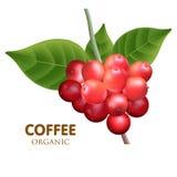Vetor da árvore de café Imagem de Stock Royalty Free