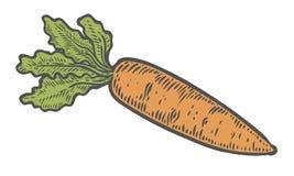 Vetor da cenoura Isolado no fundo branco Ingrediente de alimento da cenoura Mão gravada tirada Foto de Stock Royalty Free