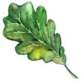 Vetor da folha do carvalho do verde da árvore de floresta da aquarela Foto de Stock Royalty Free