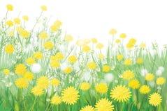 Vetor das flores dos dentes-de-leão da mola isoladas no wh Imagem de Stock