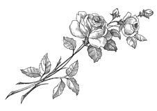 Vetor de Rosa ilustração do vetor