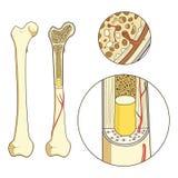 Vetor educacional médico da estrutura do osso Imagem de Stock