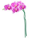 Vetor: Orquídea isolada no fundo branco Ilustração Stock