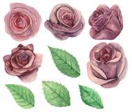 Vetor pintado aquarela das rosas Imagem de Stock