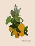 Vetor tailandês do fruto da ameixa mariana doce ilustração stock