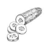 Vetor tirado mão do pepino pepino Ilustração gravada vegetal do estilo Desenho detalhado do alimento do vegetariano Fotos de Stock Royalty Free