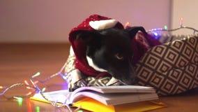 Vetri d'uso del cane in bianco e nero e vestito rosso, leggenti il libro sul suo strato video d archivio