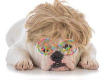 vetri d'uso della parrucca e di pace del bulldog maschio Fotografia Stock Libera da Diritti